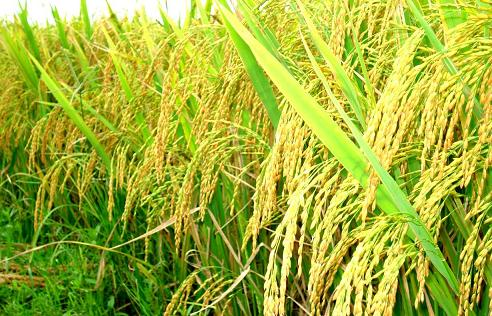 Rice farming is big business in developed economies